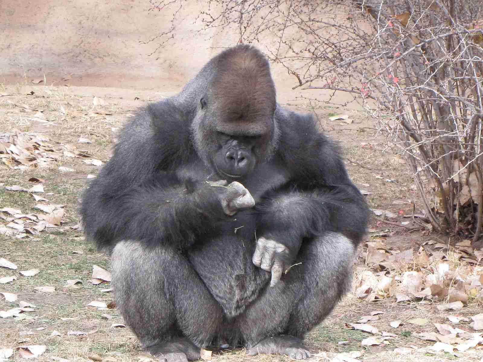 Gorilla at the Albuquerque Zoo