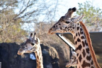Giraffes at the Houston Zoo