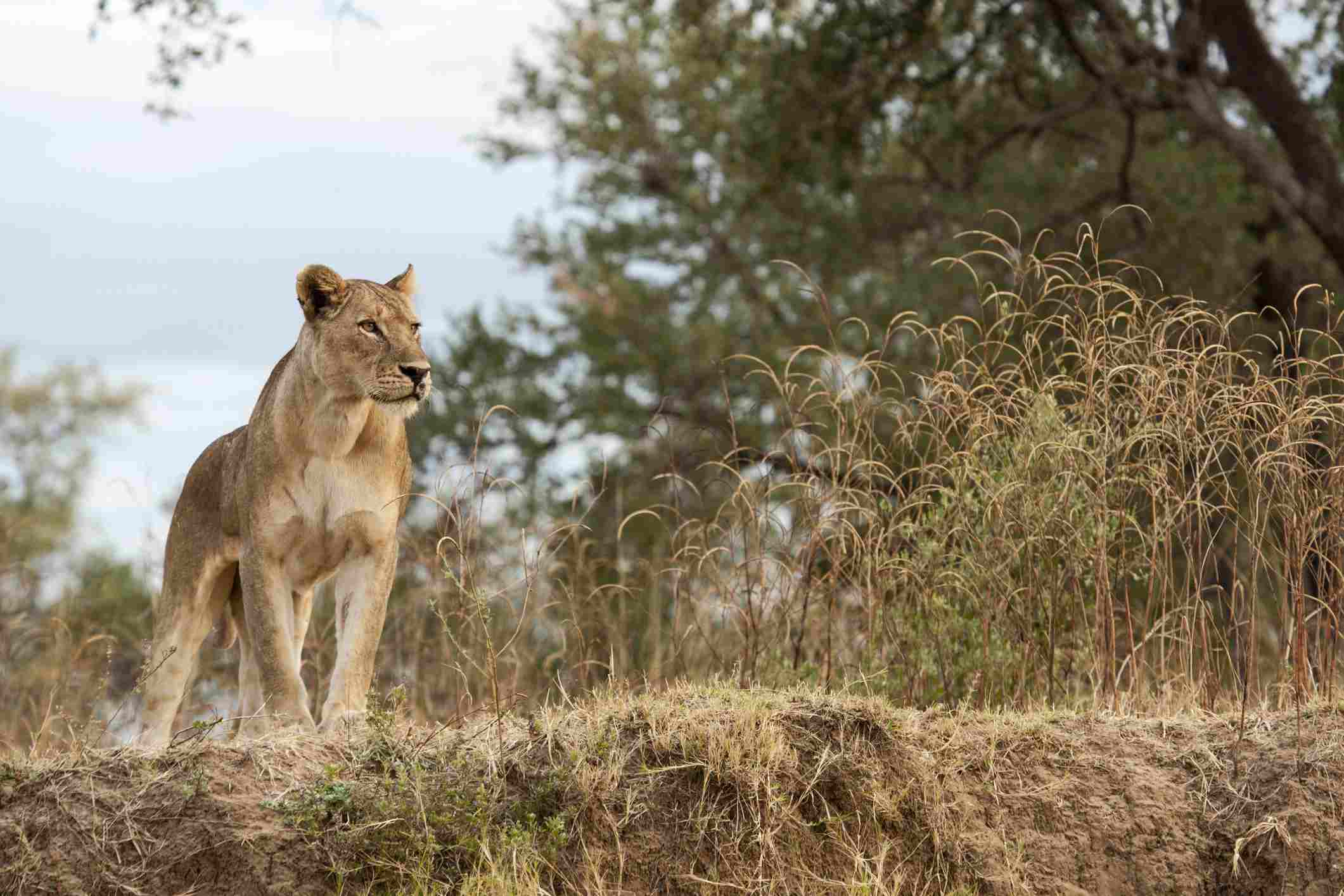 Lioness, South Luangwa National Park