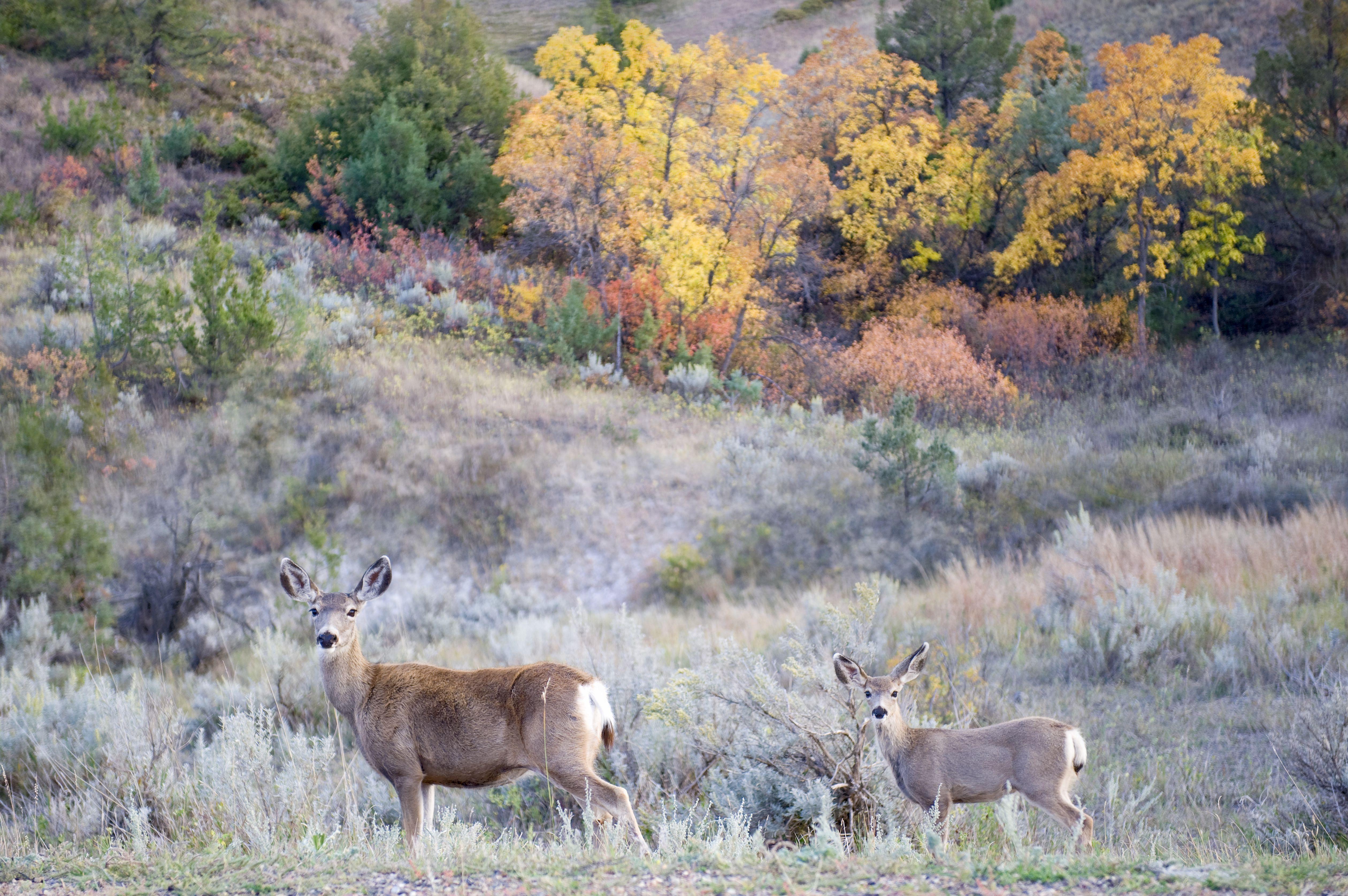Deer in Theodore Roosevelt National Park
