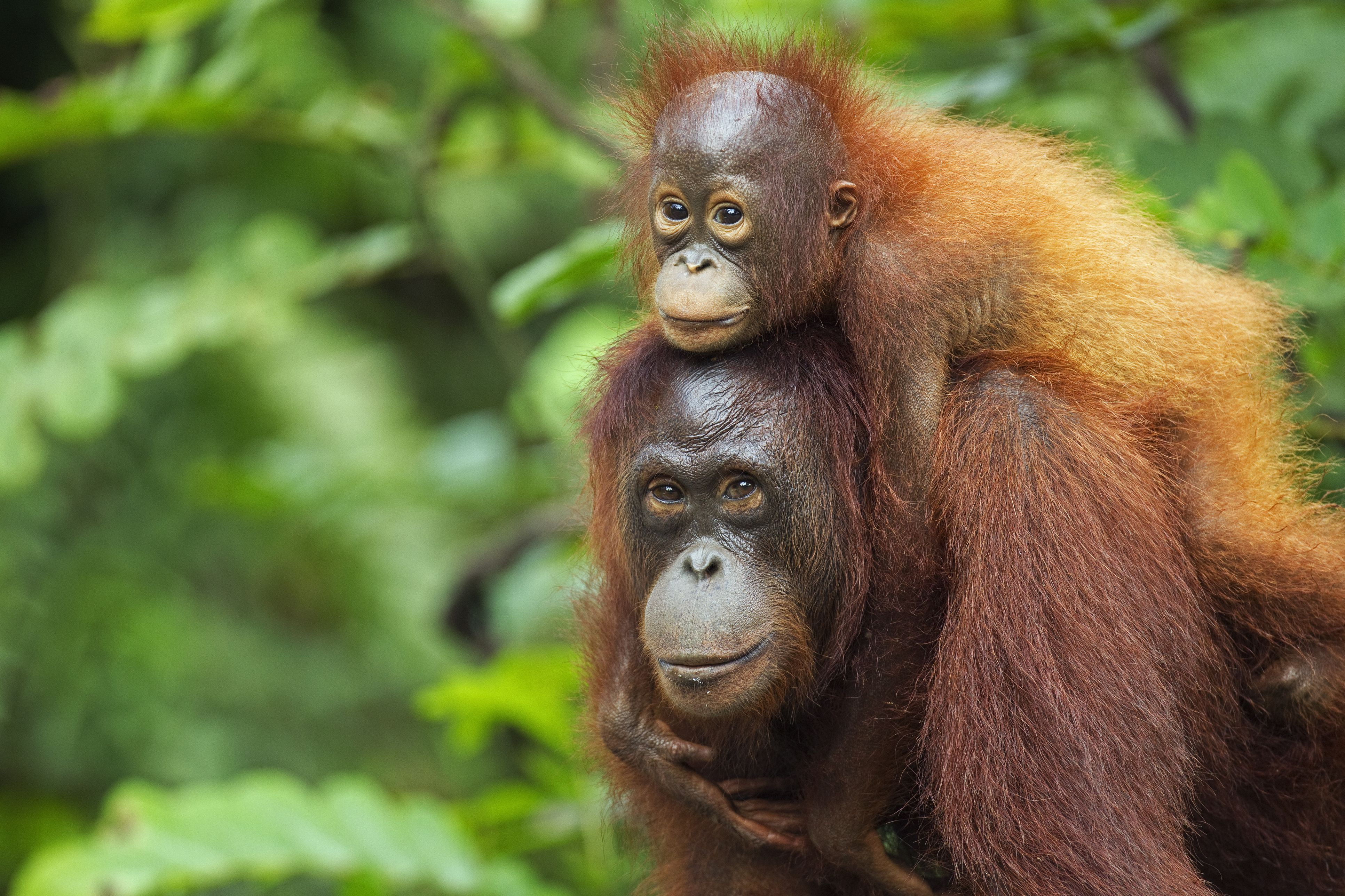 Bornean Orangutan female carrying her son