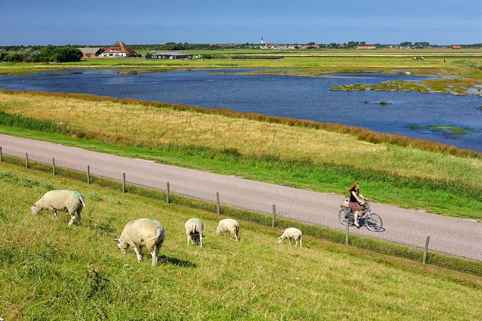 Países Bajos, Texel Island, Den Burg, ovejas pastando en dique