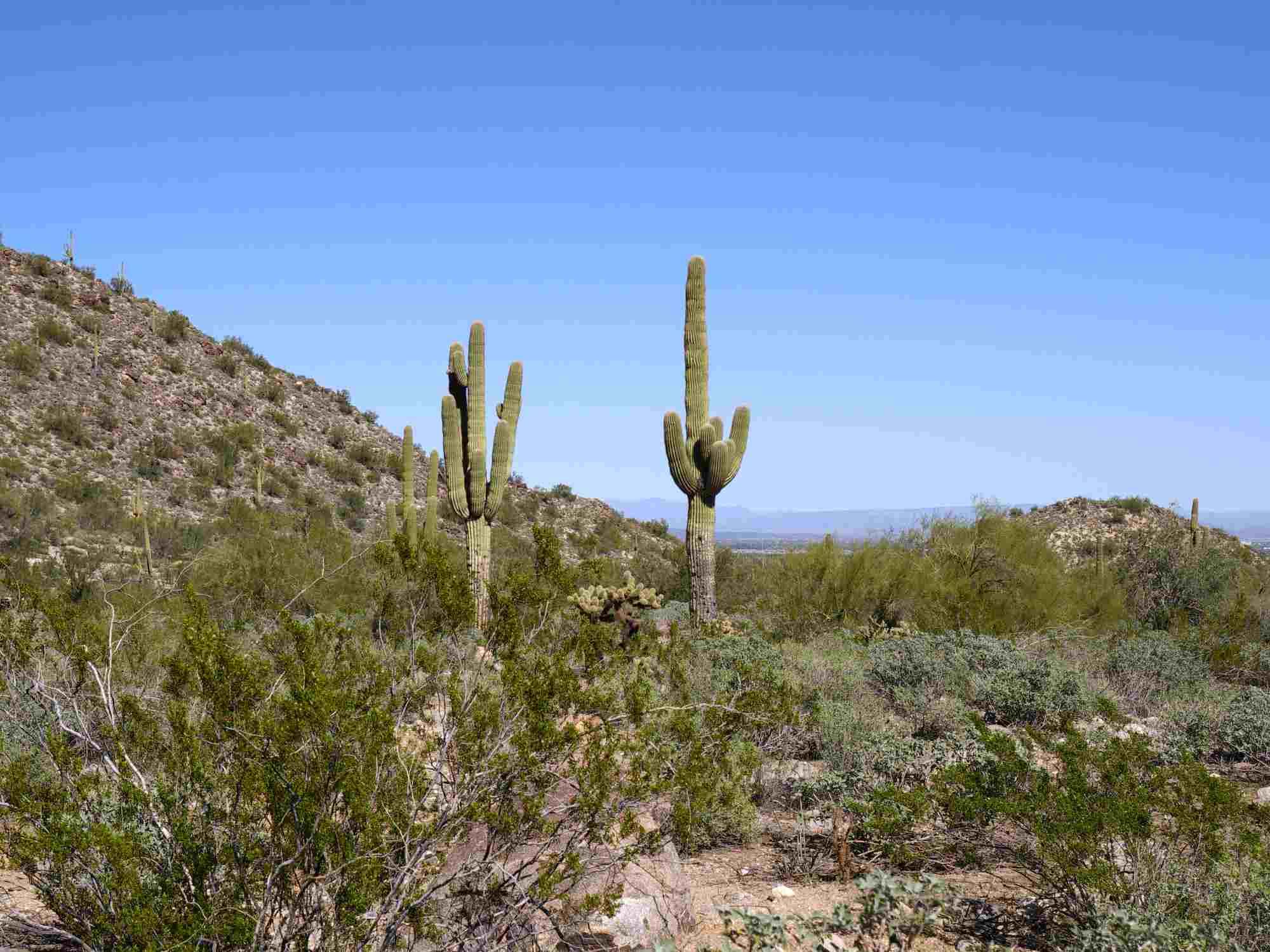 Saguaro Cacti in the White Tank Regional park, white tank mountains