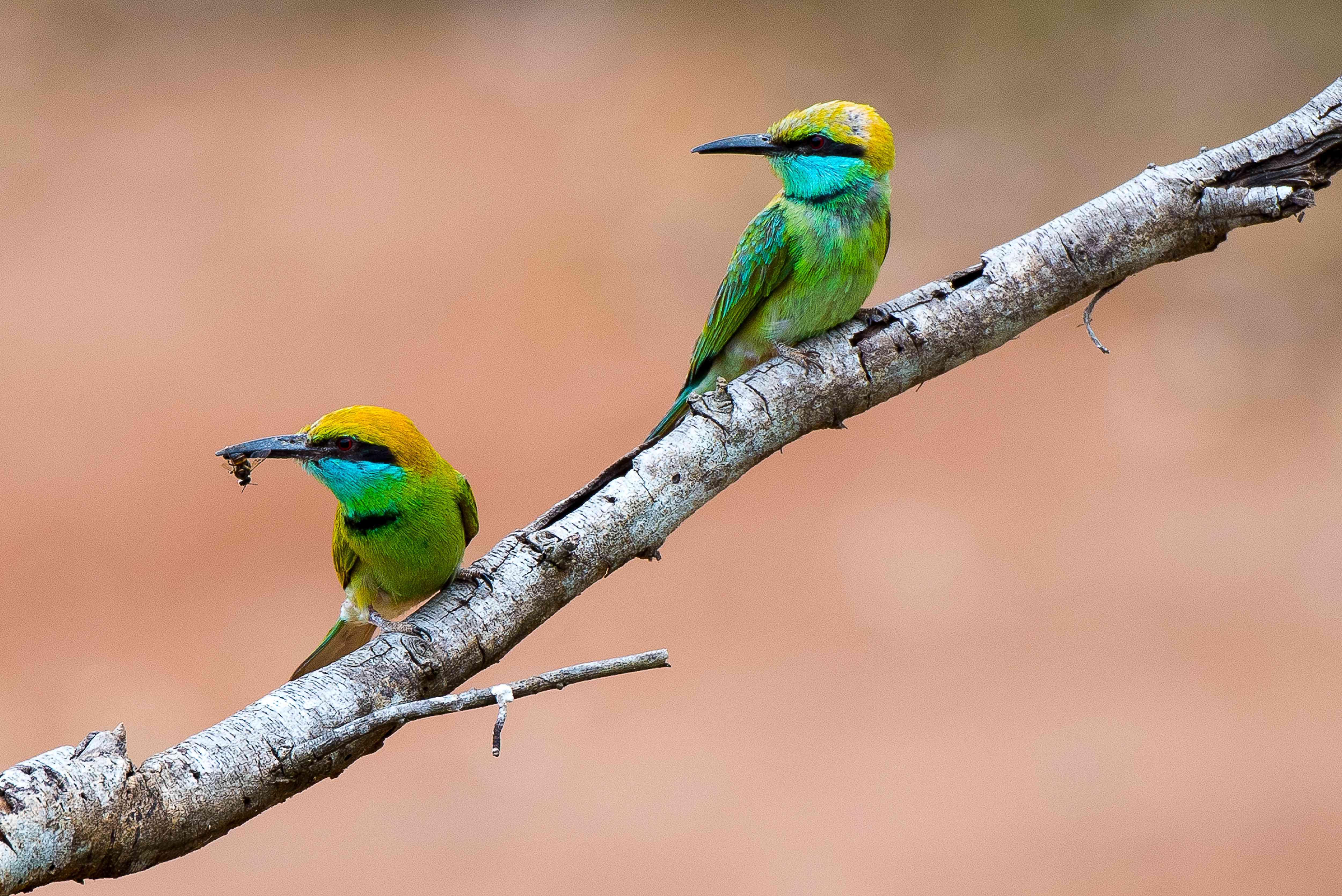 Two green bee eater birds in Sri Lanka