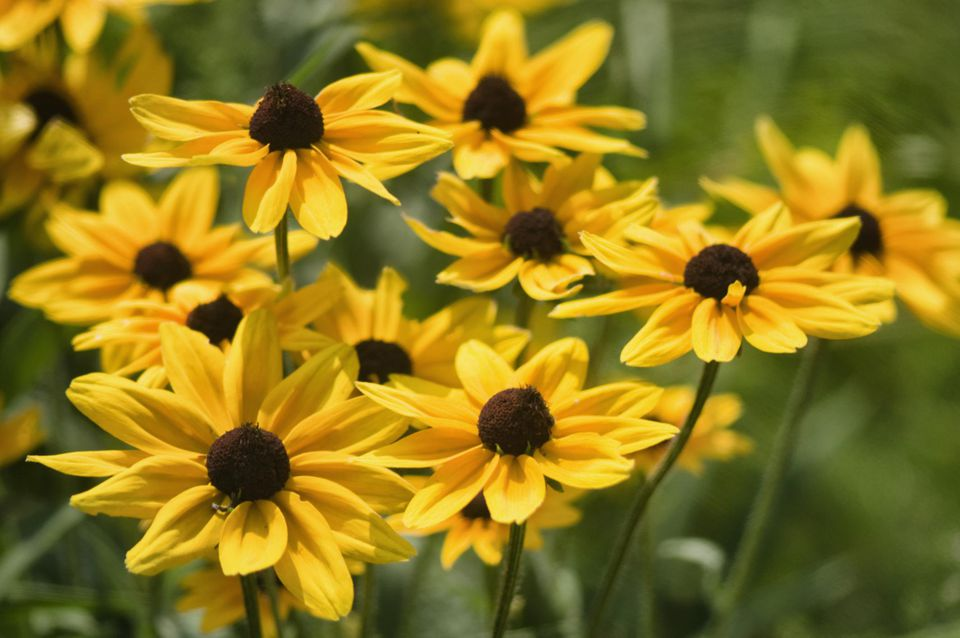 Which perennials survive best in sunny michigan gardens rudbeckia daisy flowers black eyed susan mightylinksfo
