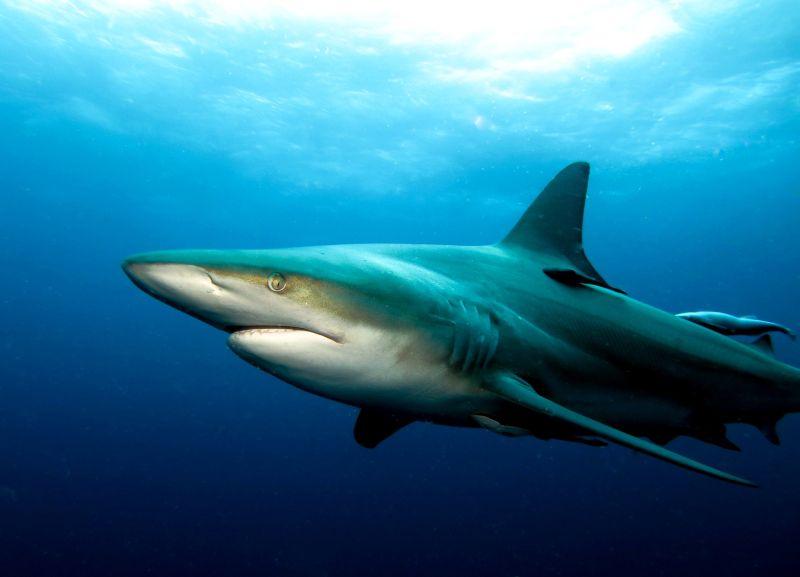 Close up of oceanic blacktip shark, Aliwal Shoal