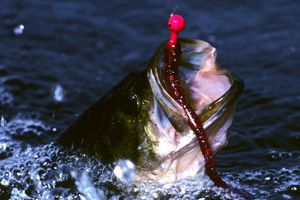 largemouth bass hooked with rubber bait