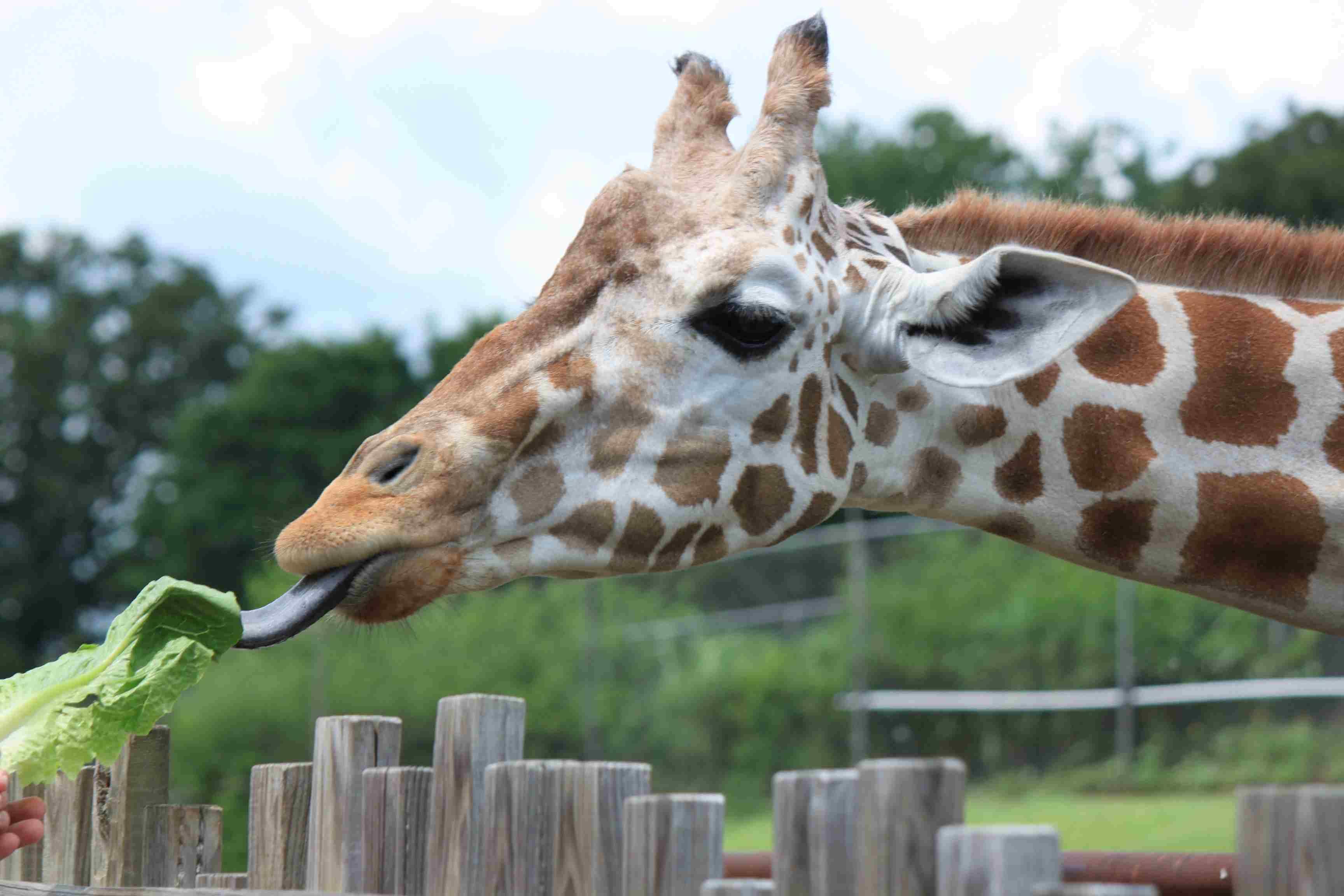 jirafa en el zoológico de Oklahoma City