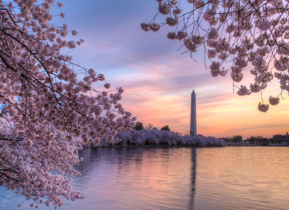 Flores de cerezo en Washington DC
