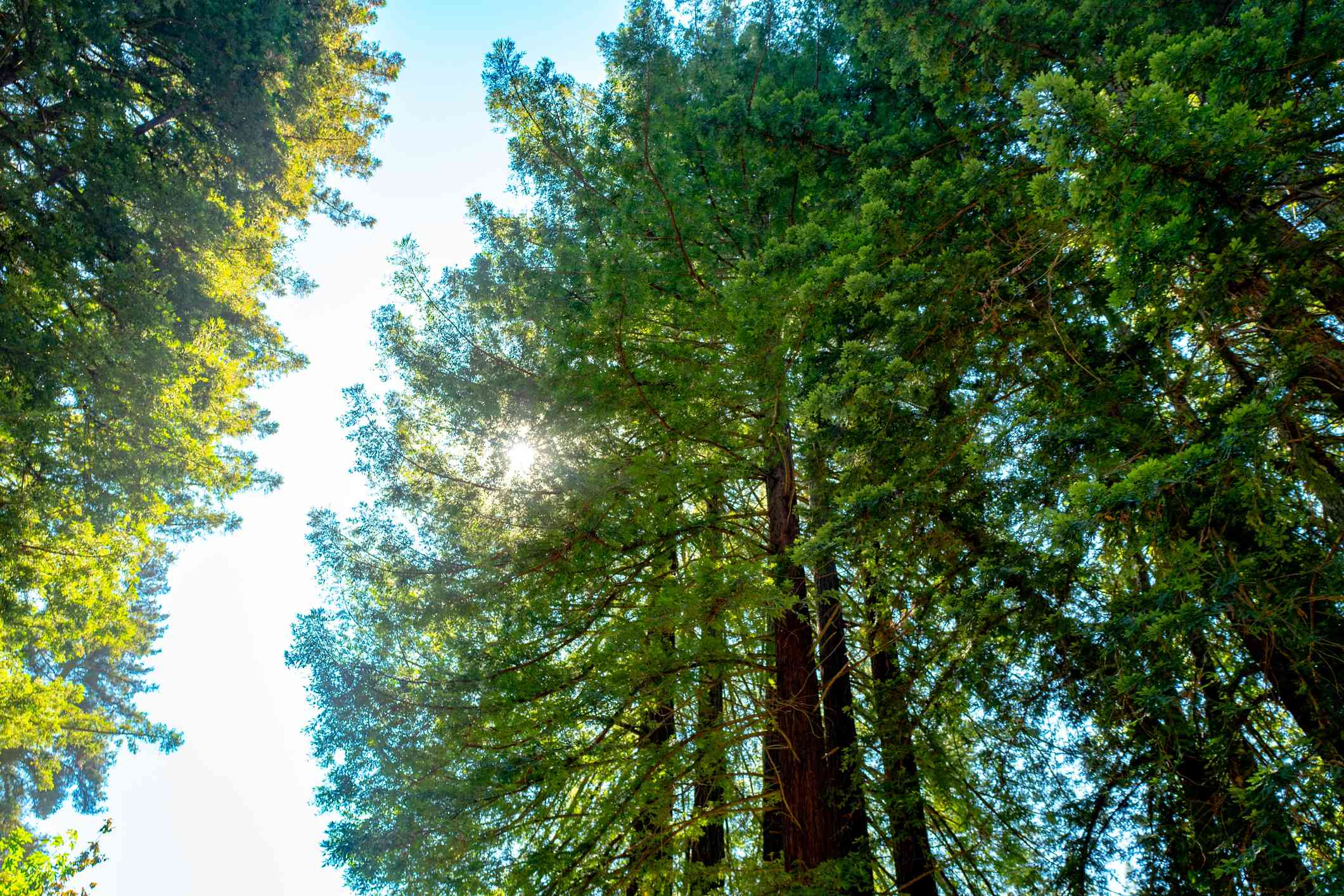 Low-angle view of the tree canopy of a stand of Coast Redwood trees on a sunny day outdoors at Redwoods Regional Park, an East Bay Regional Park in Oakland, California