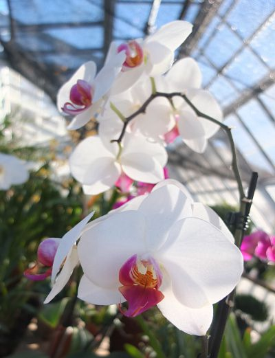 orchids in Westmount greenhouses.