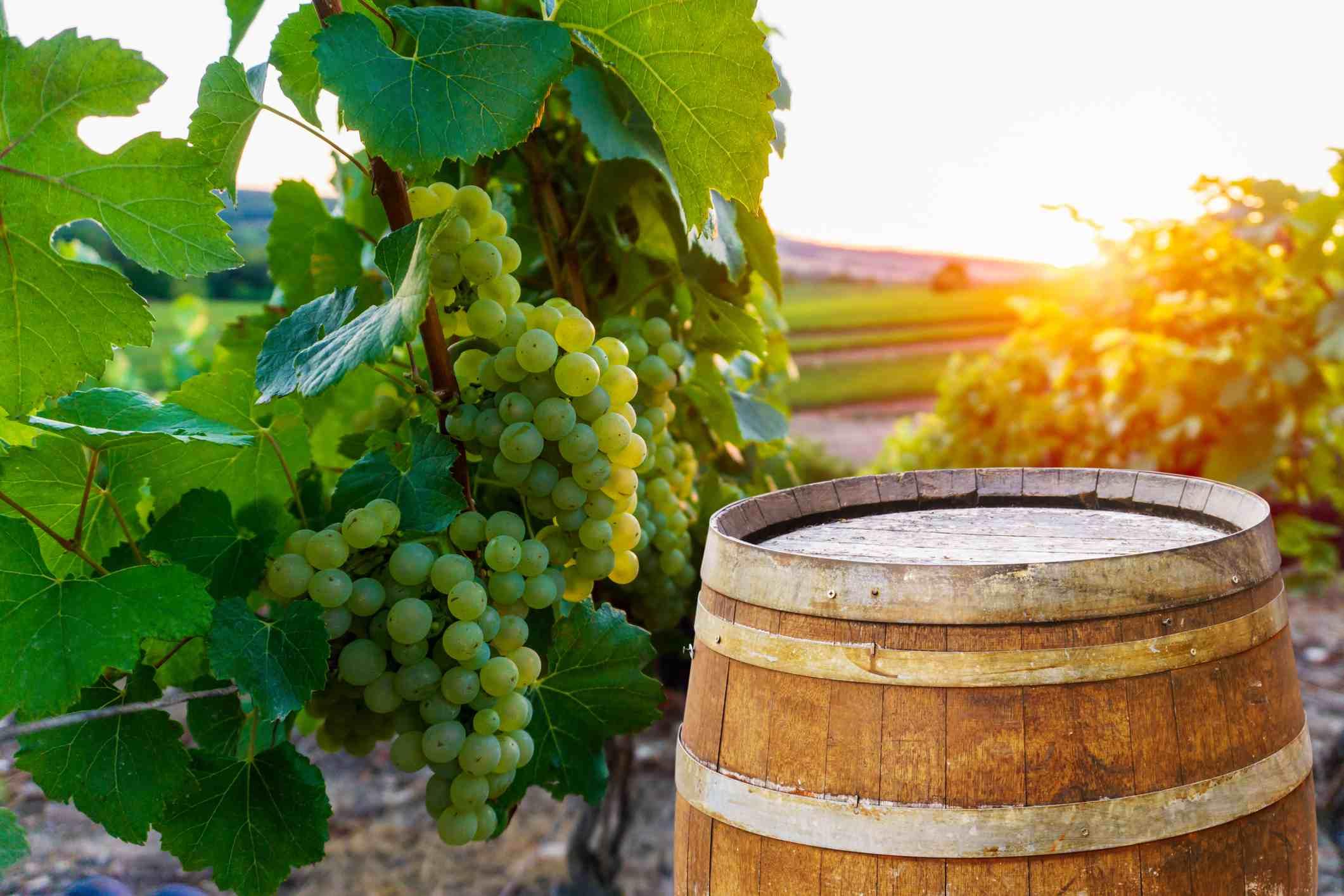 Champagne vineyards at Montagne de reims
