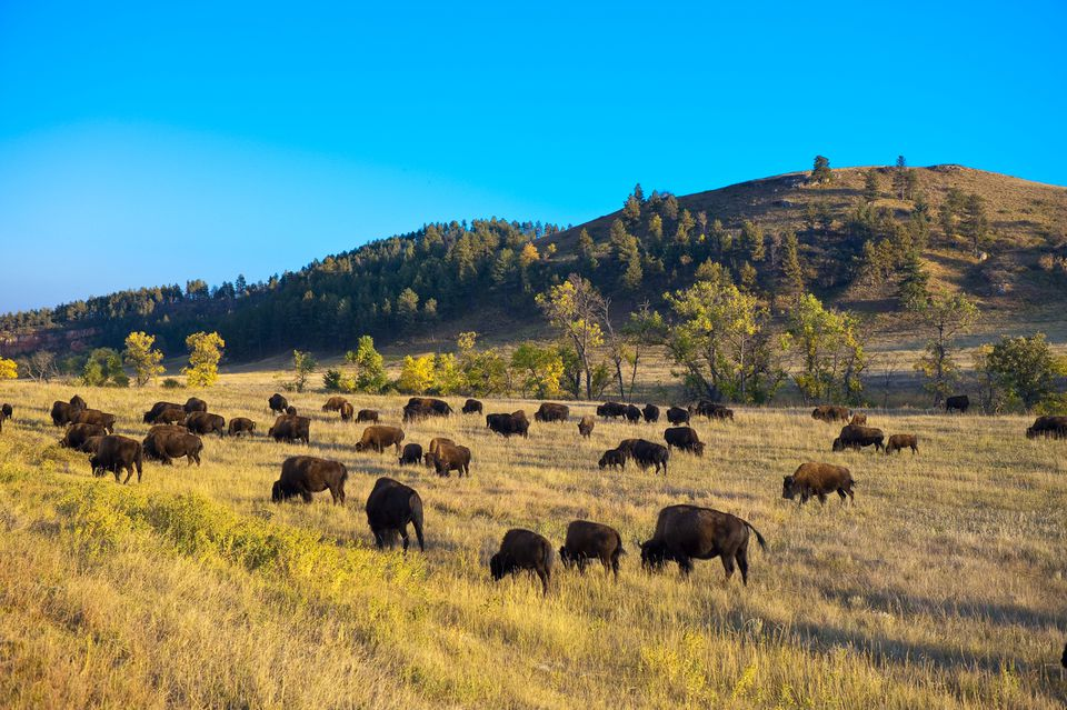 Bison grazing, Custer State Park, South Dakota