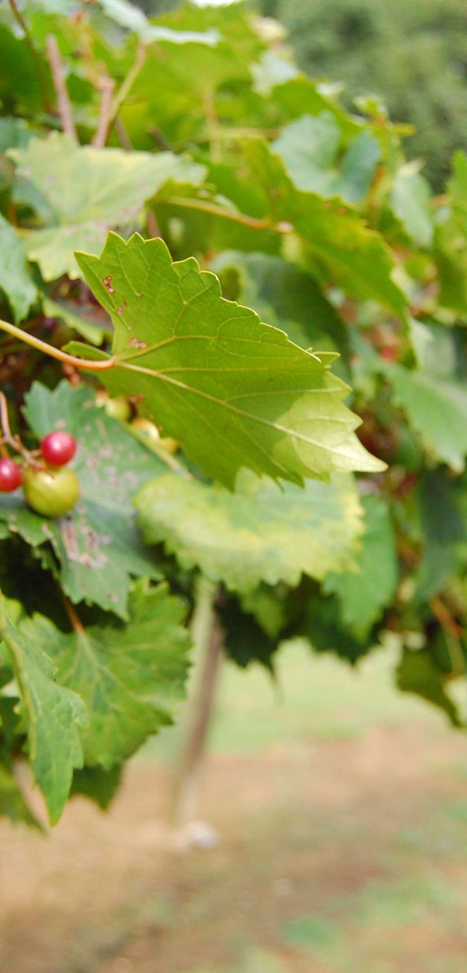 Garden Gate Vineyards Mocksville, NC