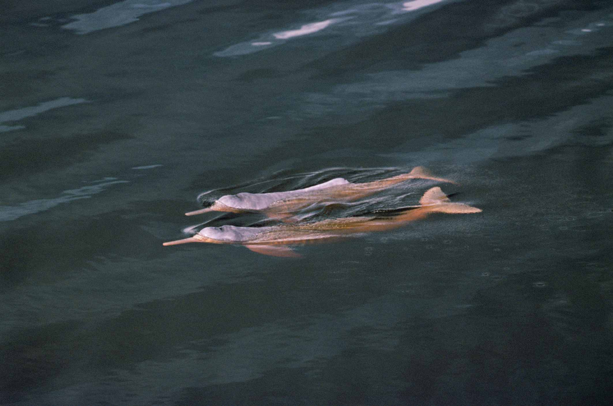 Bouto or Amazon pink river dolphin {Inia geoffrensis} swimming at surface, Mamiraua, Brazil
