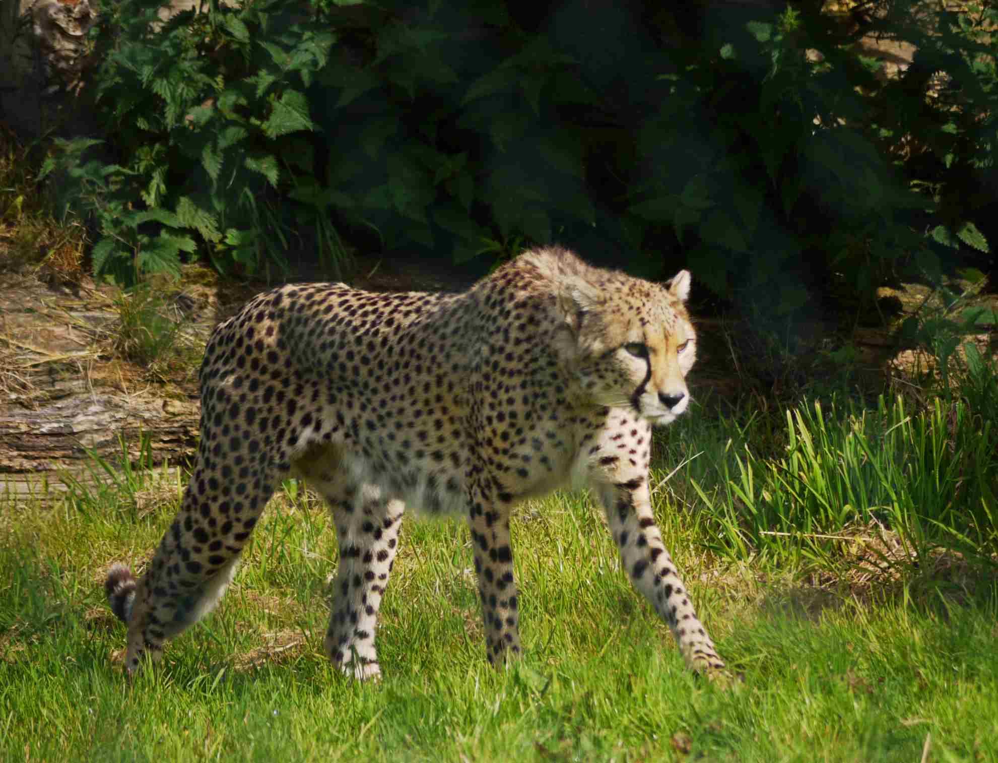 Cheetah in fota island Wildlife park