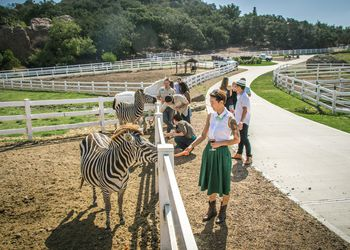 feeding zebras