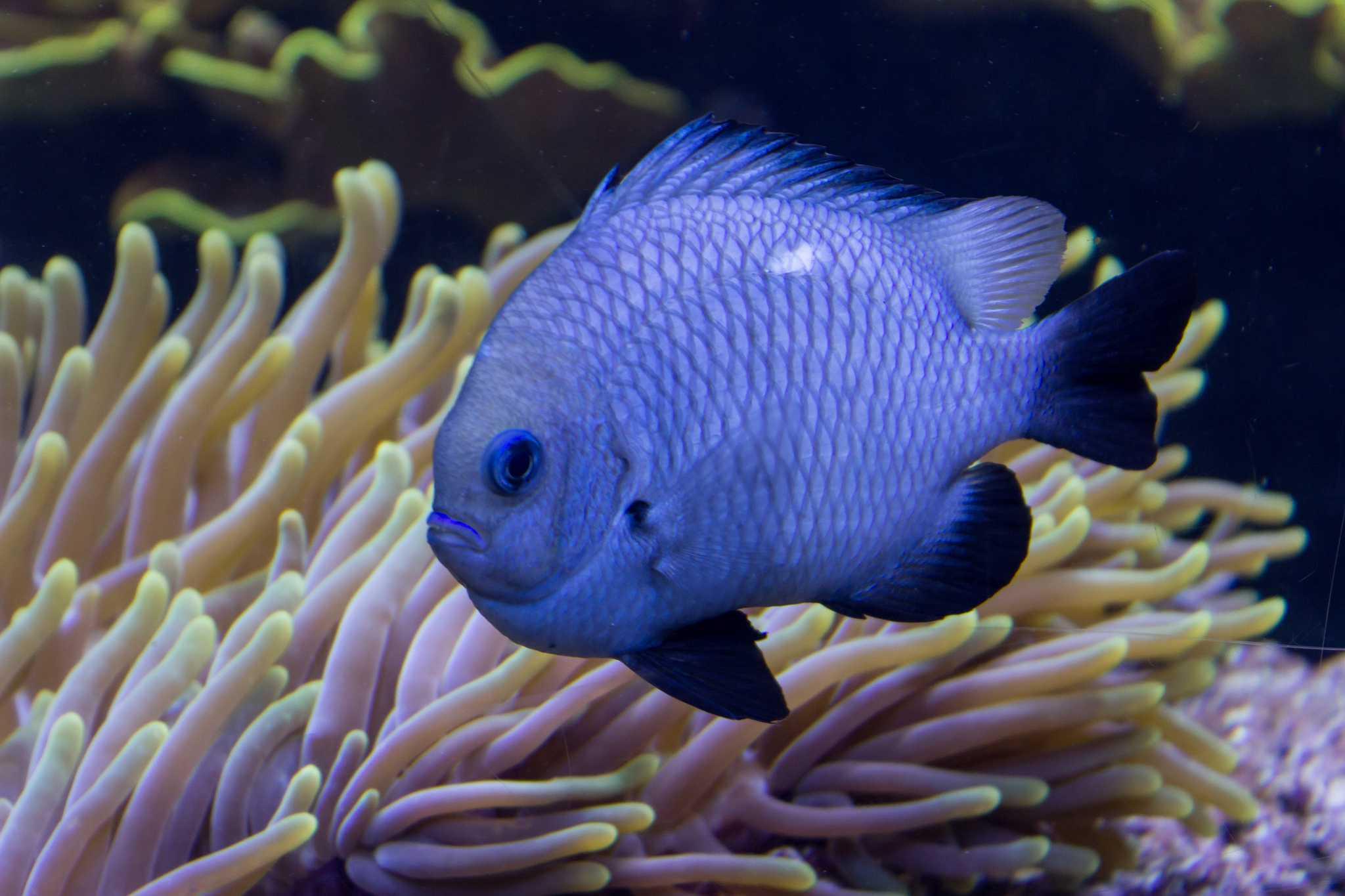 Blue fish swimming in a tank at the Long Island Aquarium