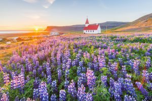 Church in Vik with lupine flowers, Southern Iceland