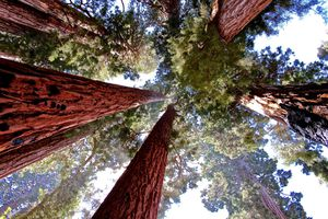 Looking up towards the canopy at Sequoia National Park