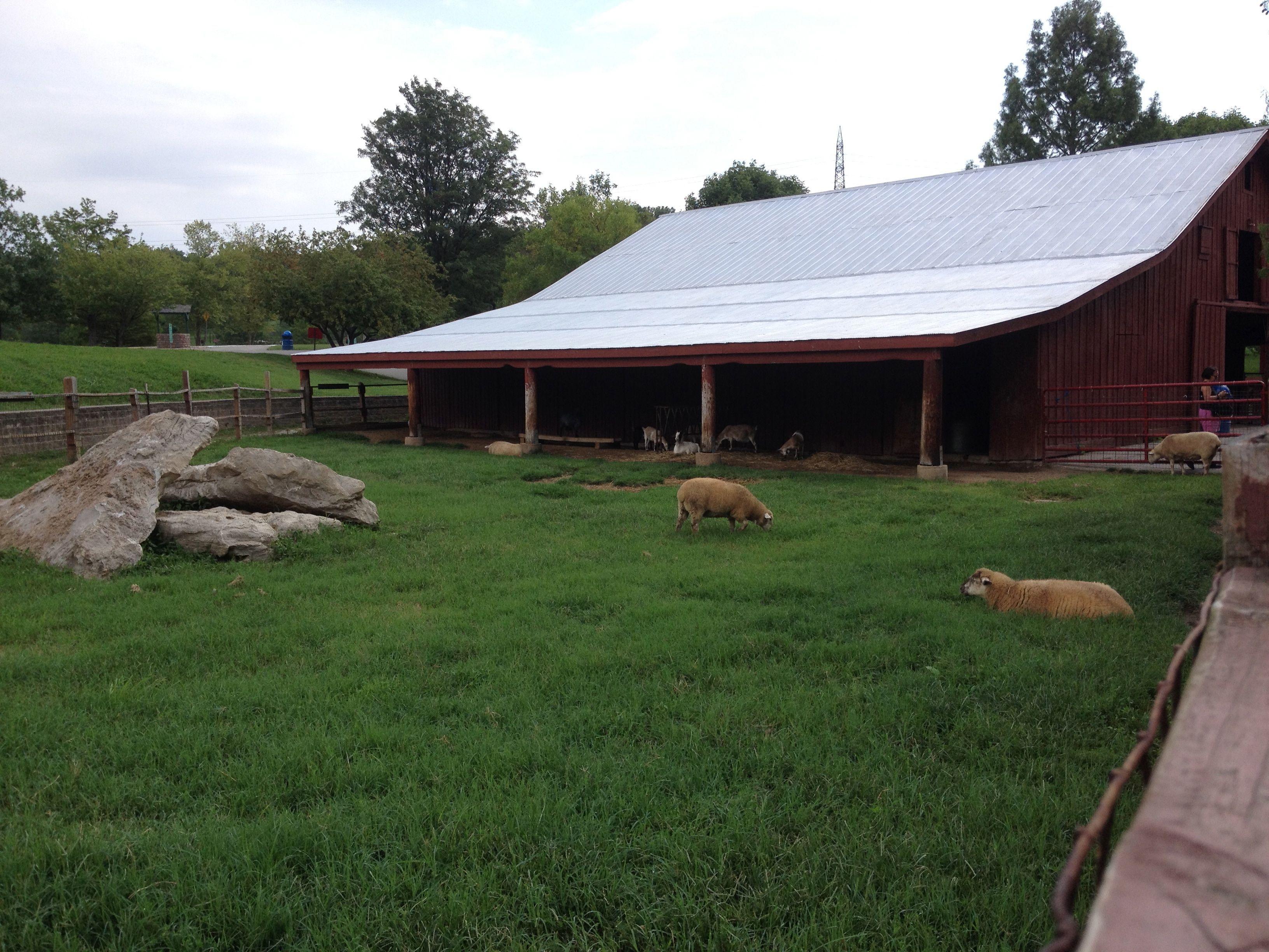 Sheep at Suson Park Animal Farm