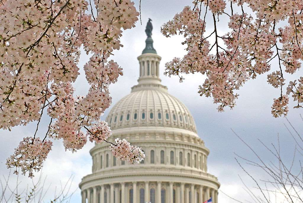 Washington DC's cherry blossoms in bloom with the Capital building in the background
