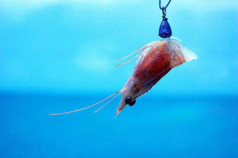 Bait Shrimp
