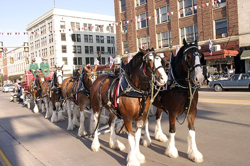 Budweiser Clydesdale team at the Cheyenne Frontier Days Parade