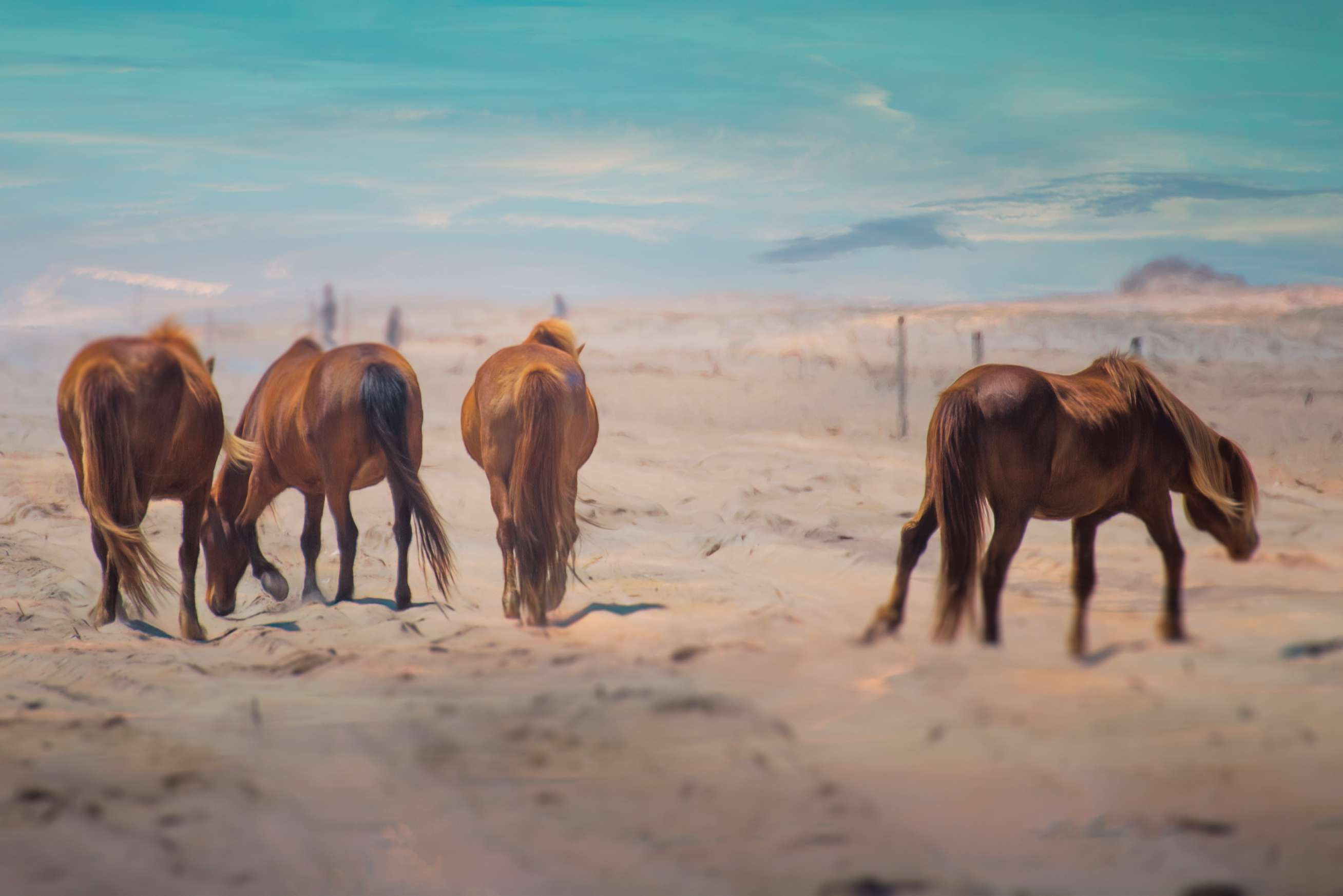 A band of wild ponies grazing in the sand at the Assateague Island National Seashore in Maryland.