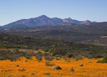 Wildflower superbloom against a mountain backdrop, Namaqualand