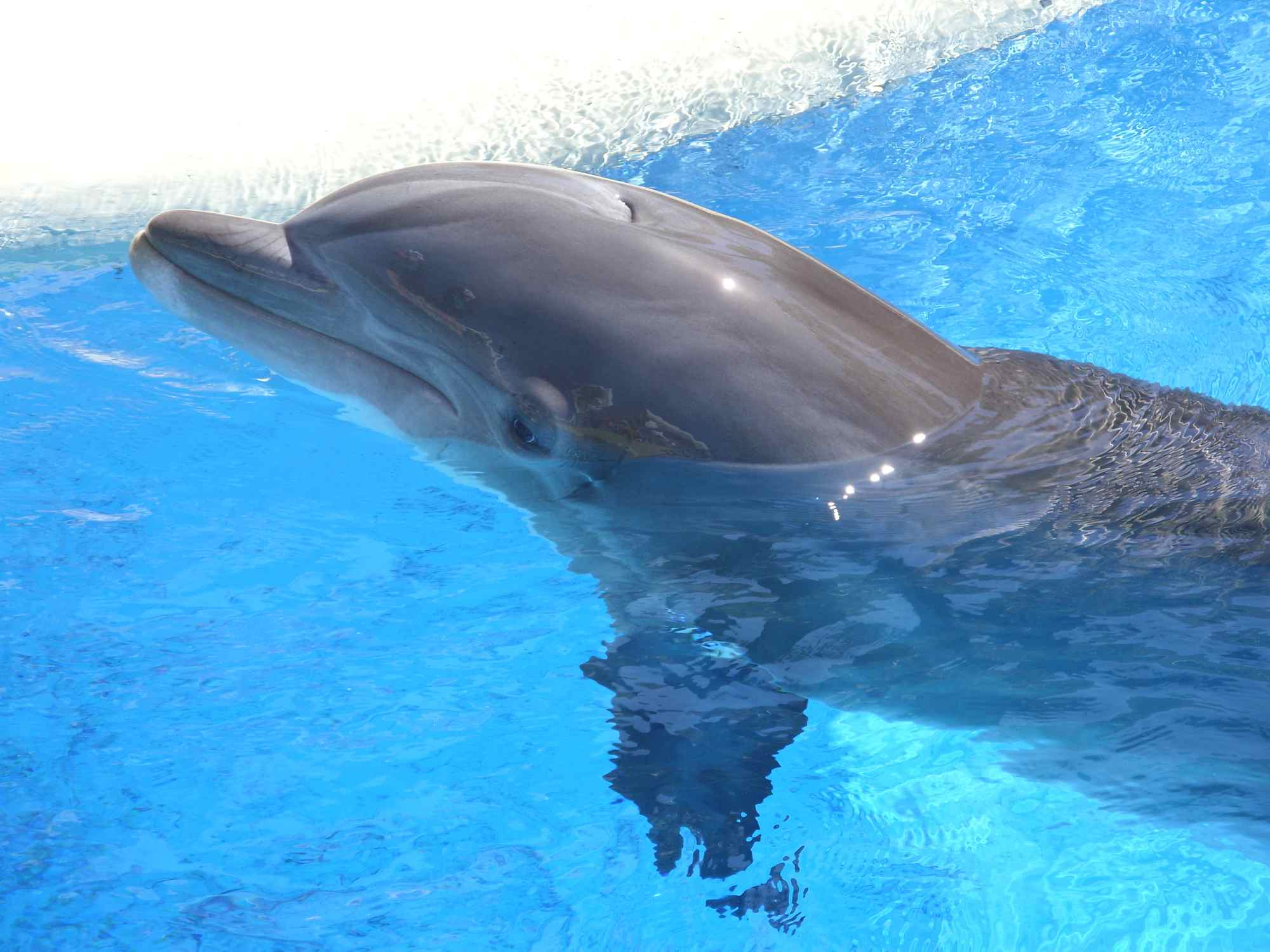 Dolphin at The Mirage, Las Vegas