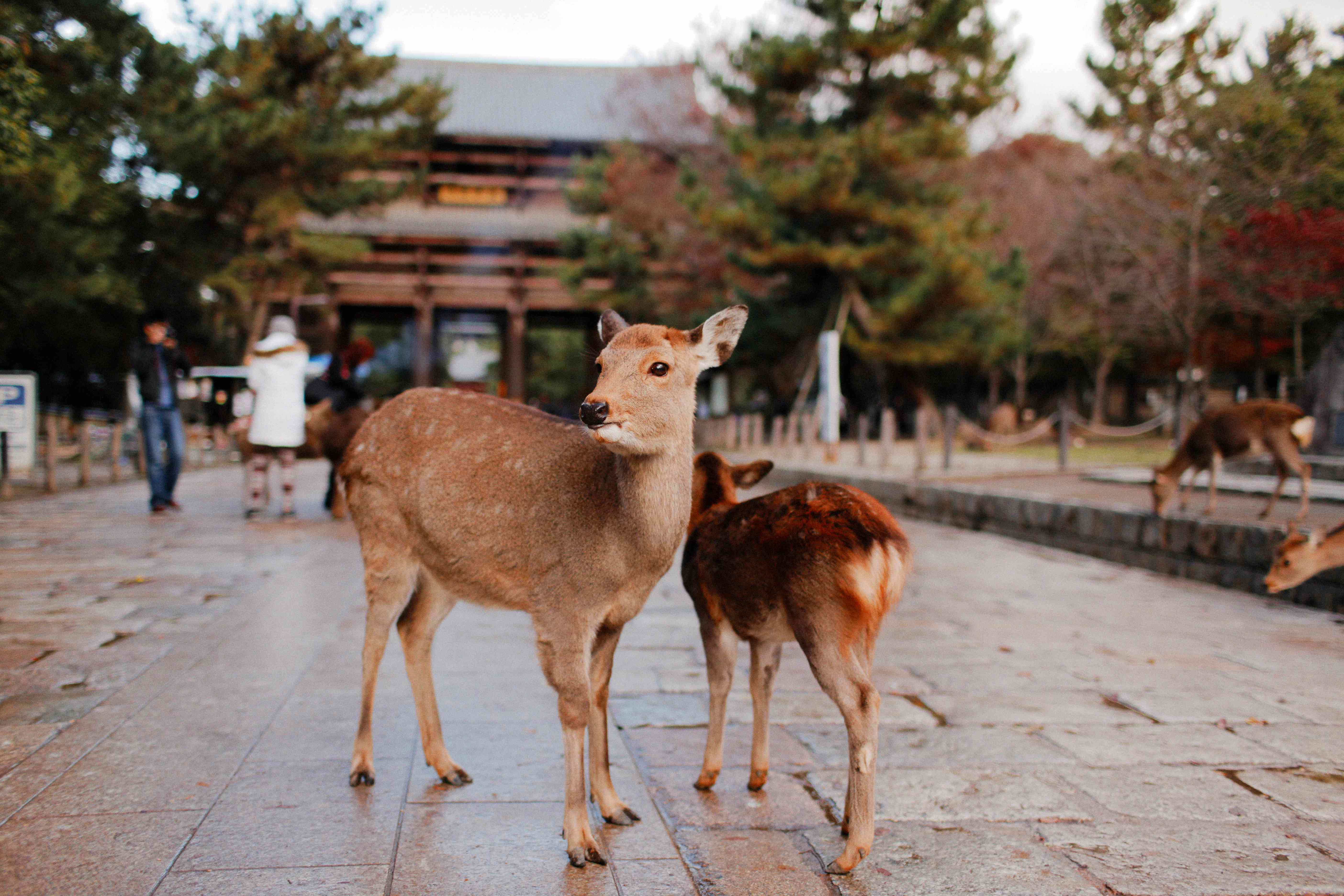 two deer standing on a pathway in nara park with a small cluster of people in the background