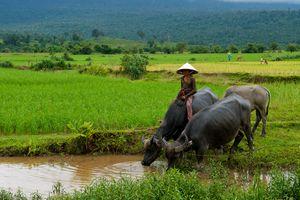Cambodian girl riding a water buffalo near Kampot