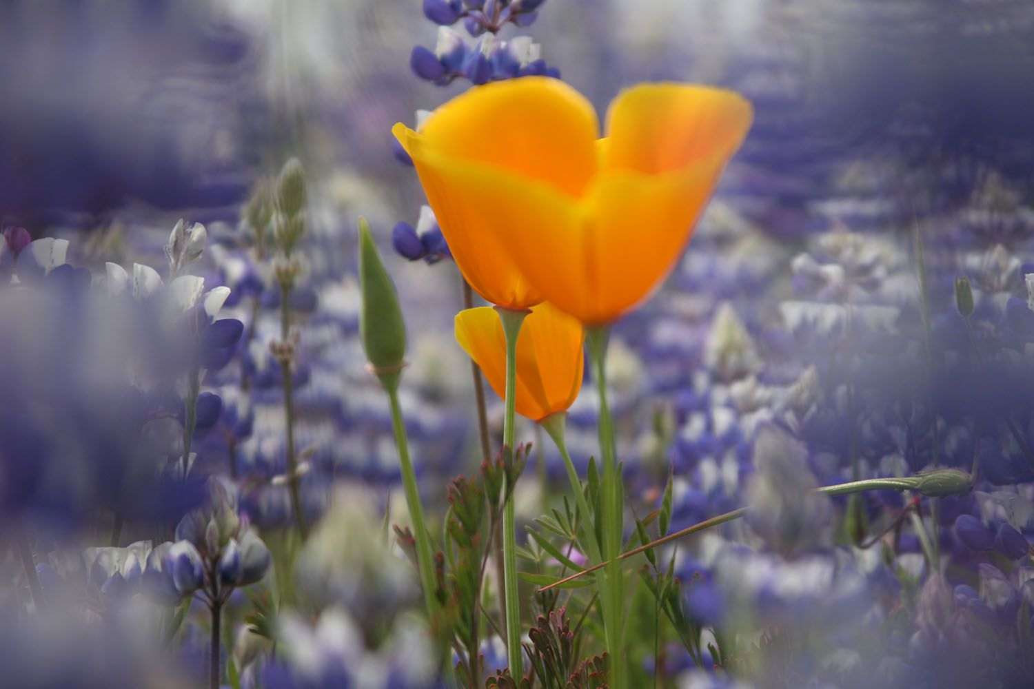 California Poppy and Lupines in Spring