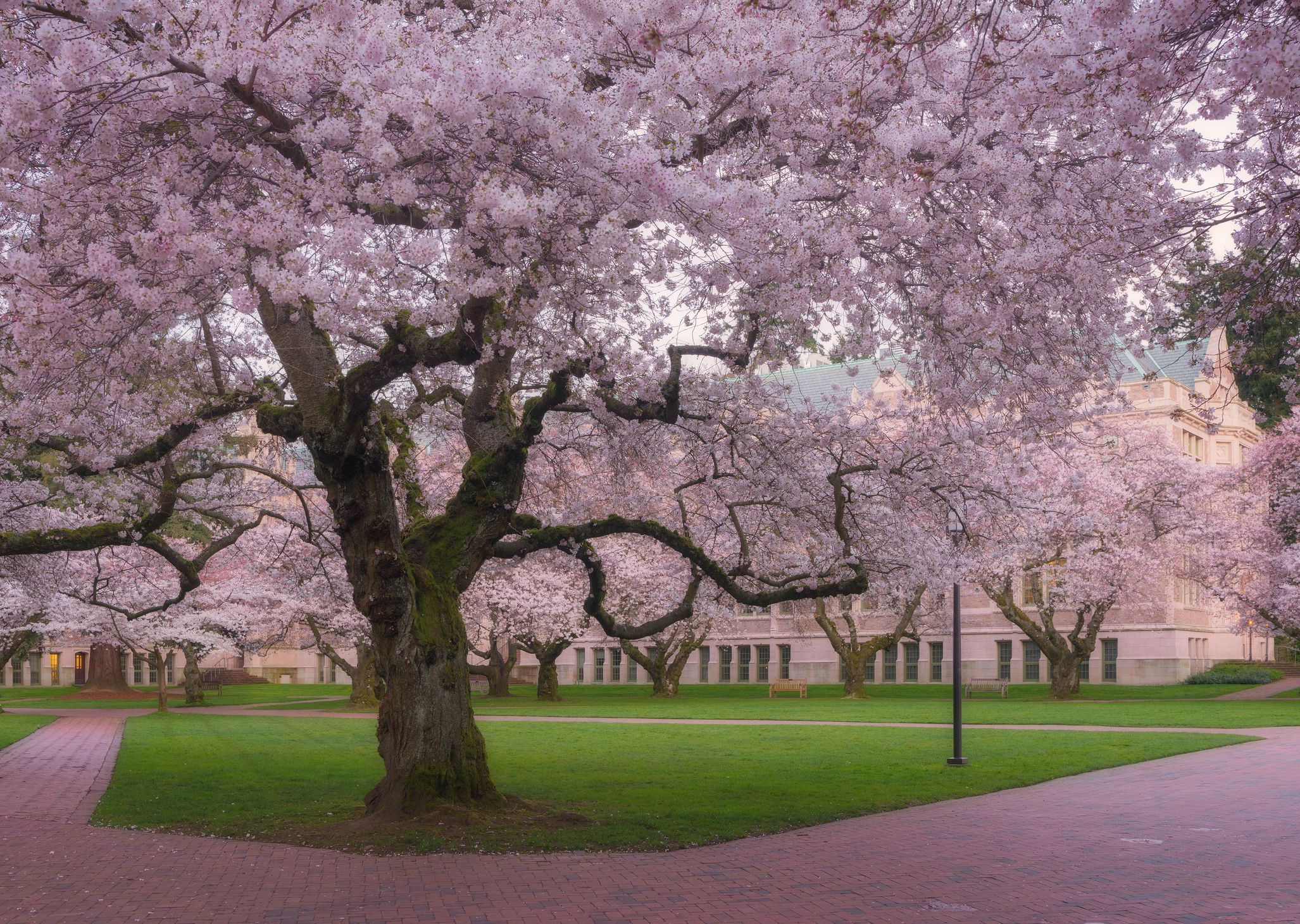 Where To View Cherry Blossoms In Seattle