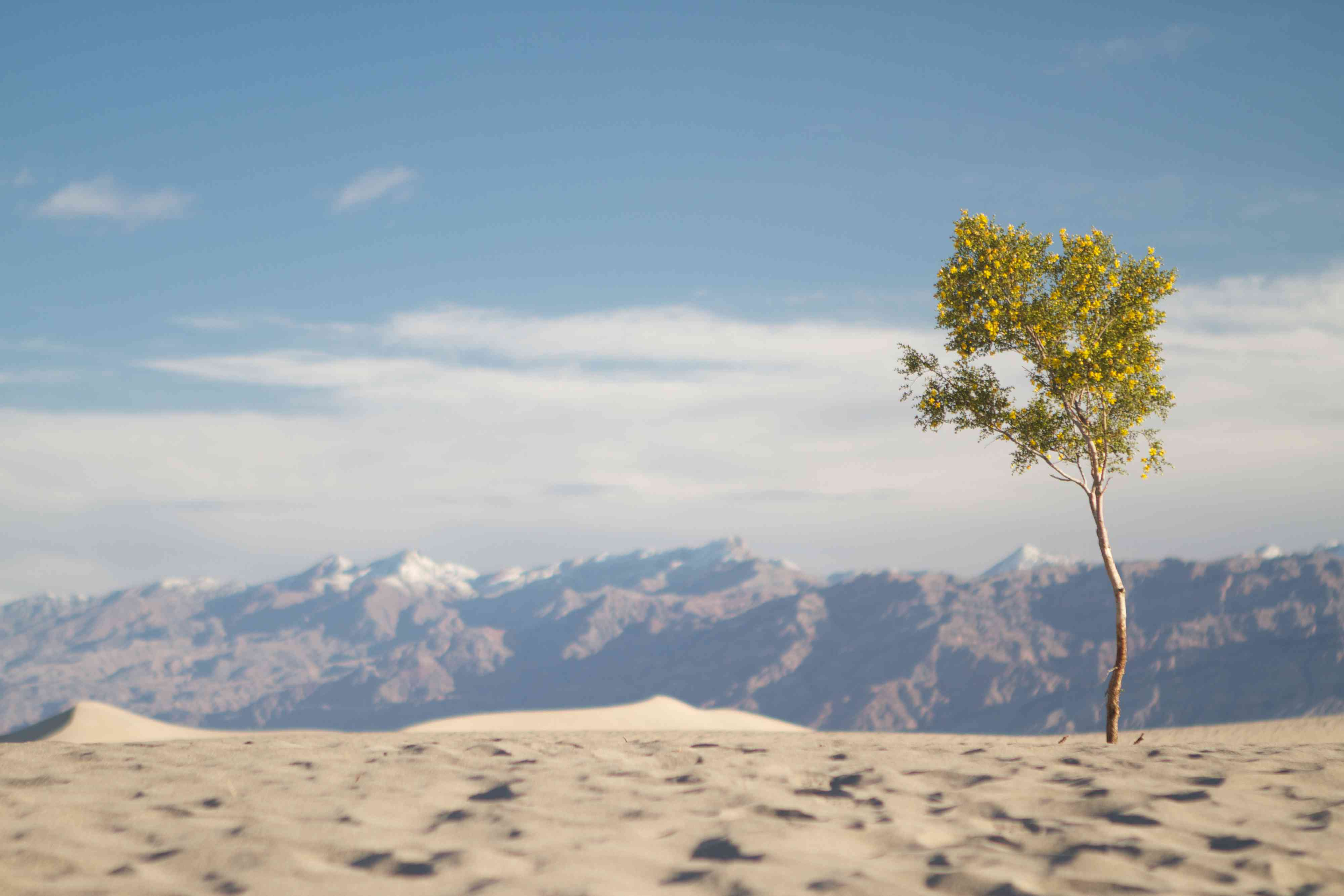 Death Valley National Park sand dunes with mesquite tree
