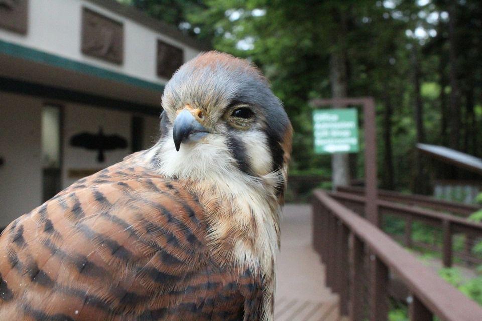 Bird at the Alaska Raptor Center