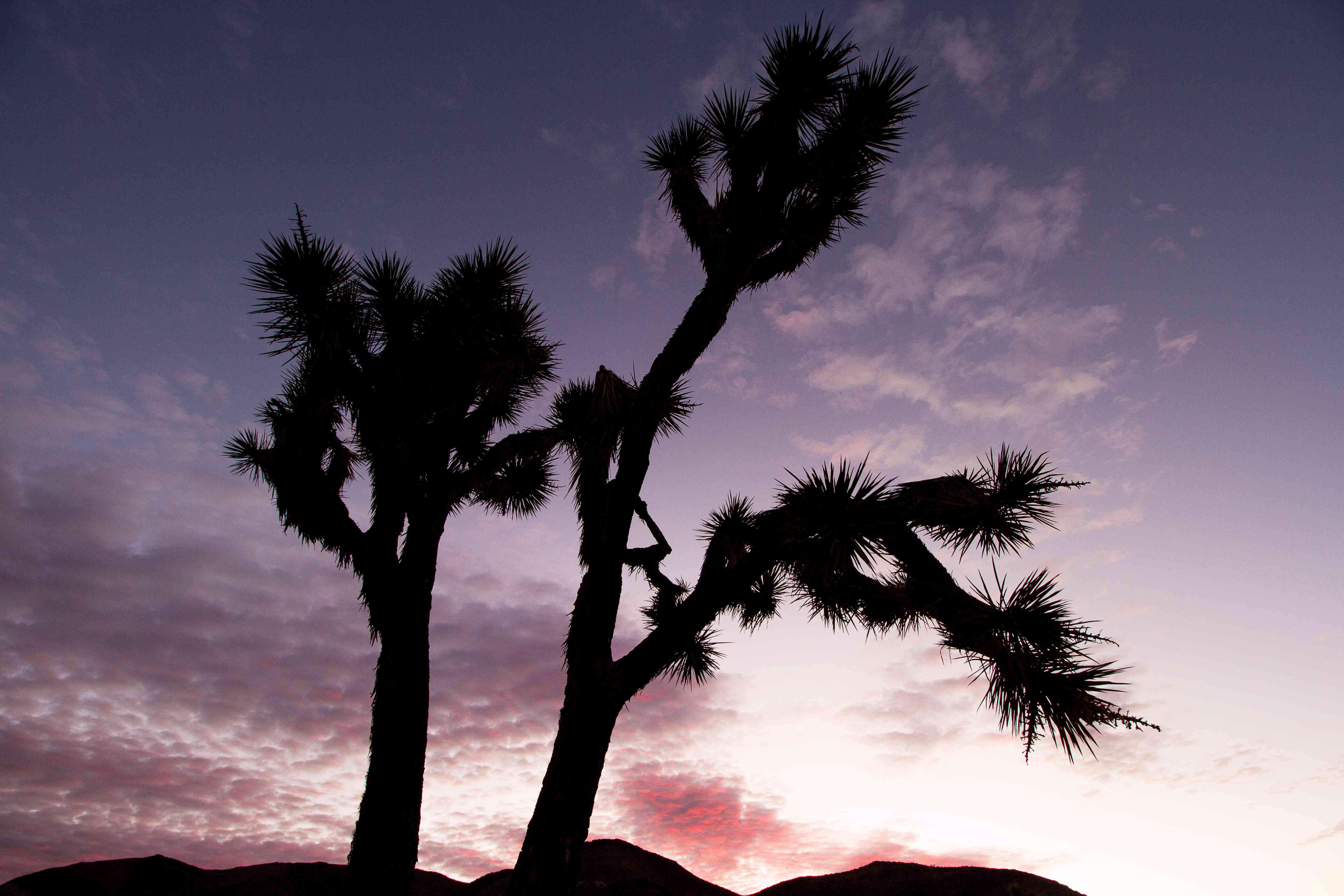 A cactus silhouette at with a purple sky in Joshua Tree