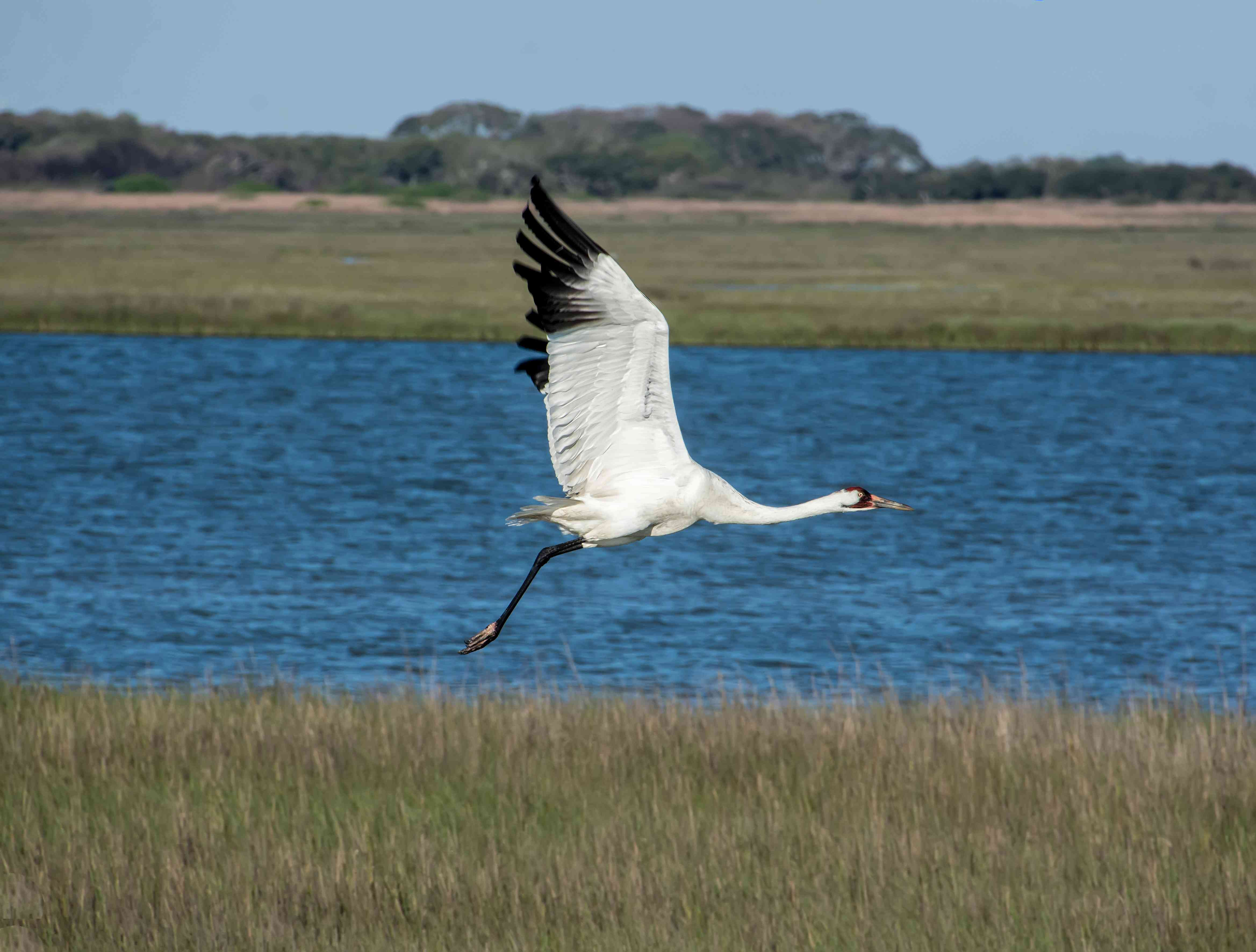 Whooping crane flying above the water.