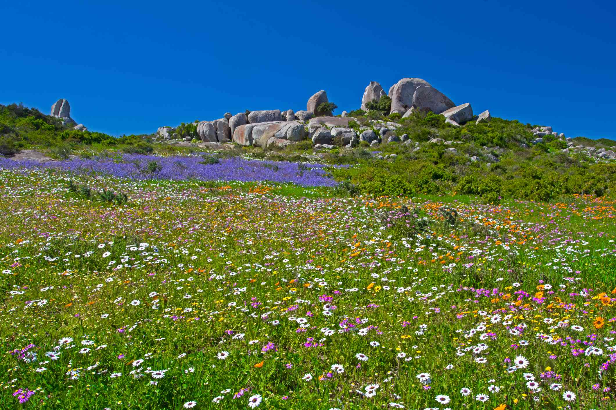 Wildflowers in West Coast National Park, South Africa