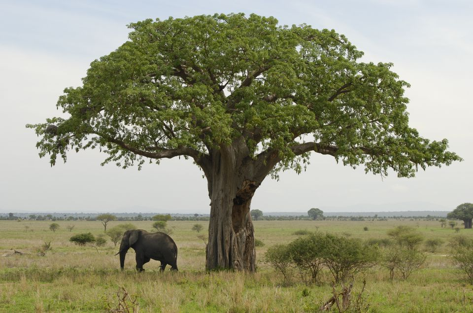 An elephant stands beneath a baobab tree in Tarangire National Park