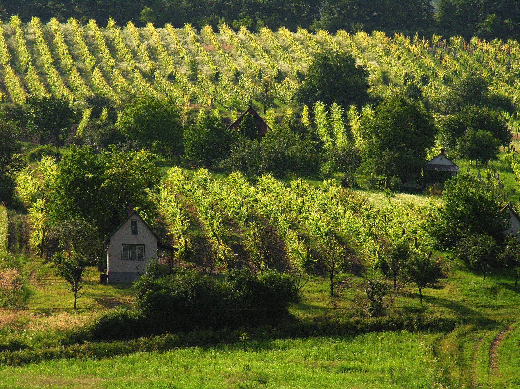 Hungary, near Eger, vineyard