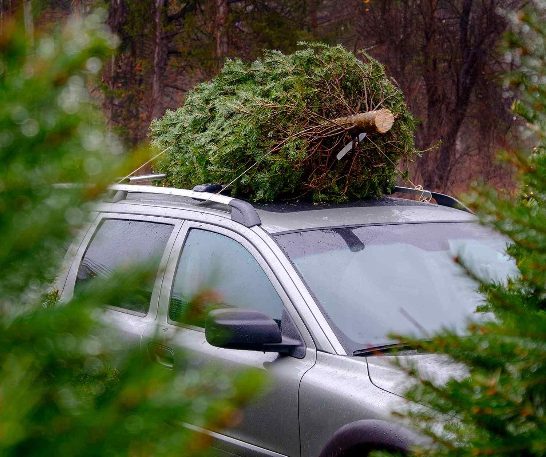 Cut Your Own Christmas Tree Long Island.Long Island Christmas Tree Farms