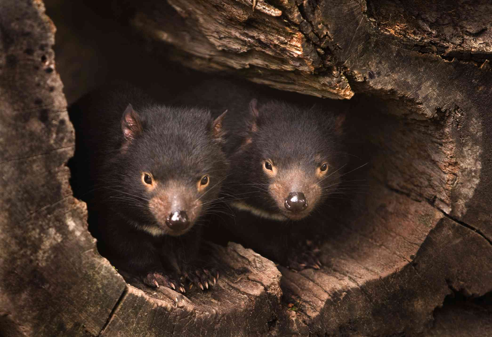 Two Tasmanian Devils in a hollow log