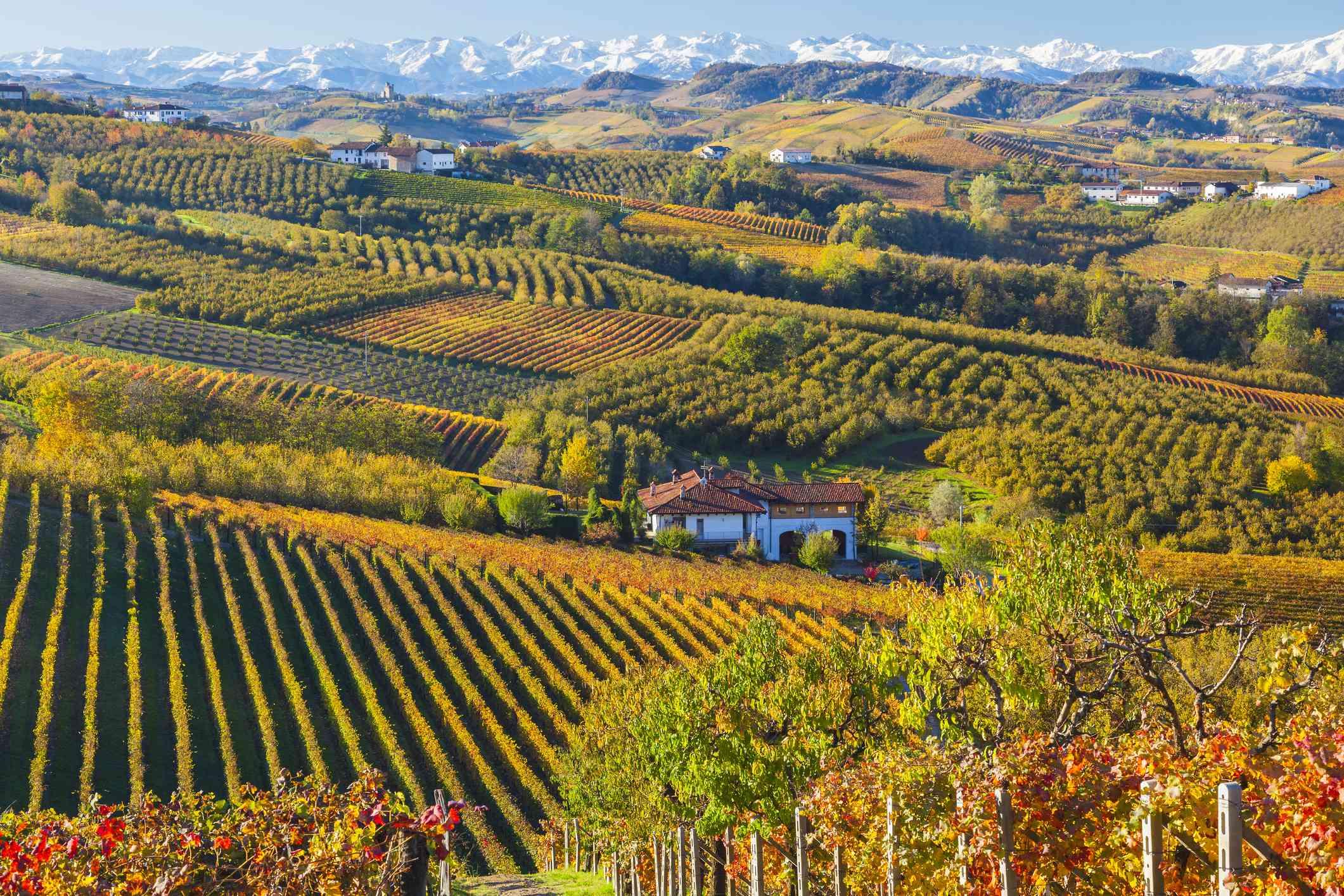 Vineyards near Alba, Langhe, Piedmonte