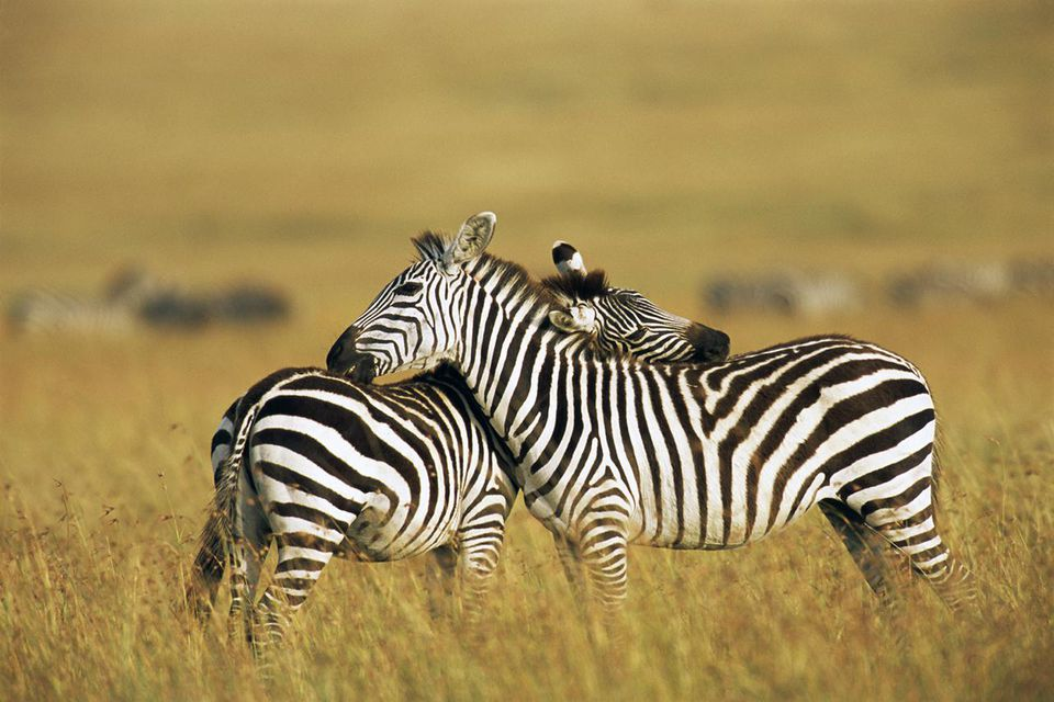 zebras grooming each other