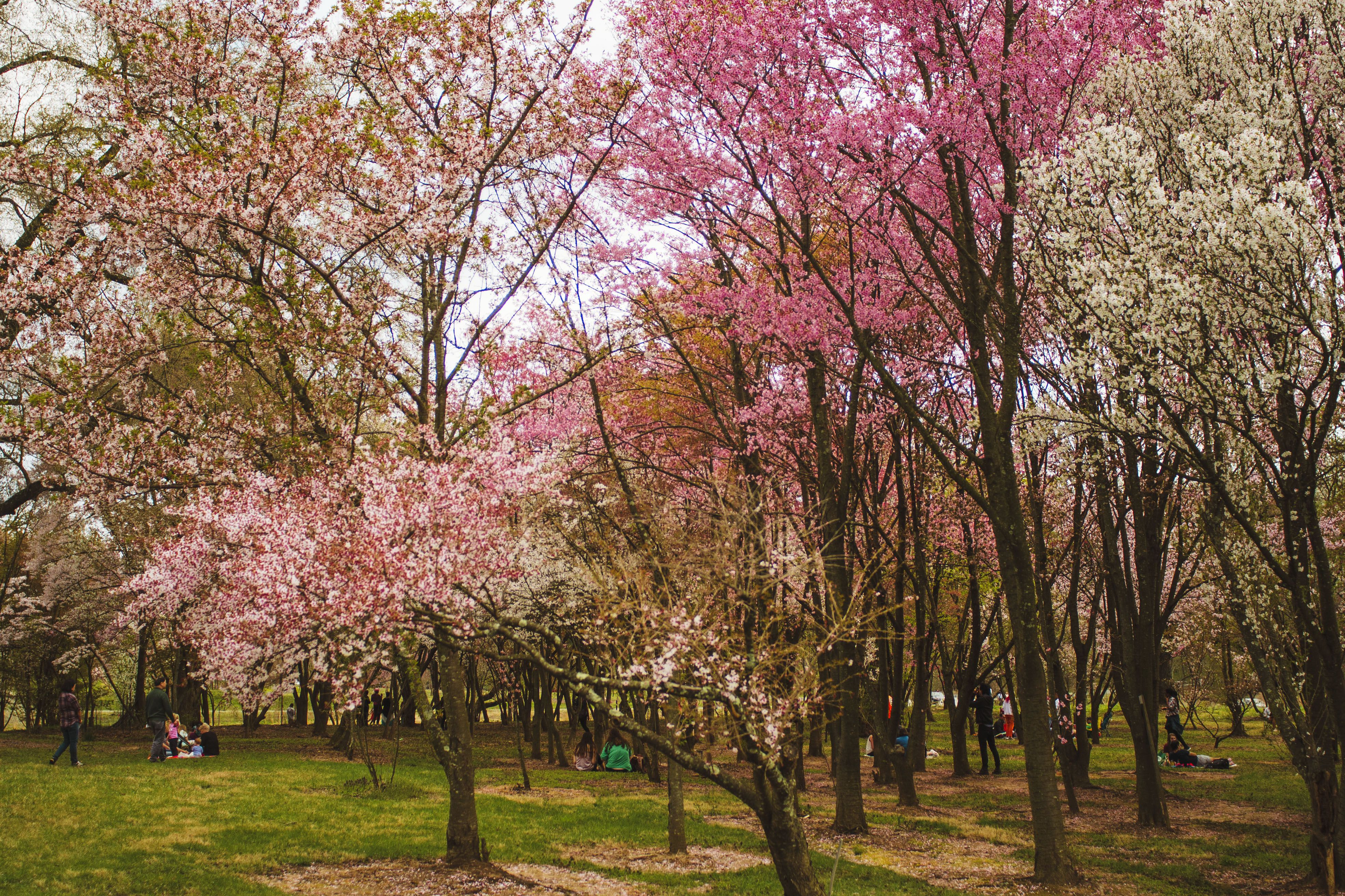 Trees with cherry blossoms in the National arboretum