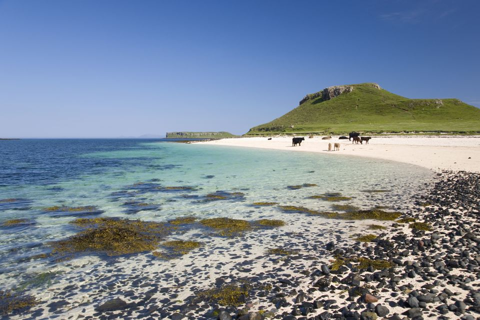 Cows on Coral Beach, near Dunvegan, Skye, Scotland