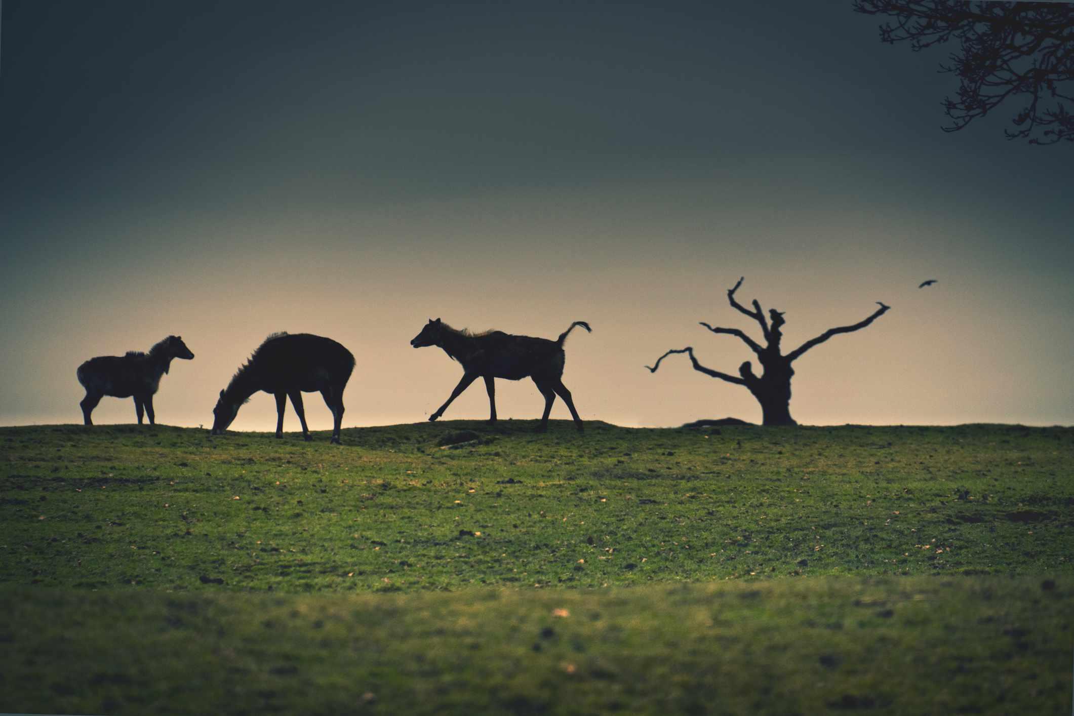 three grazing animals and a tree in silhouette, Safari park