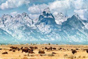 Bison (or Buffalo) below the Grand Teton Mountains, Yellowstone National Park